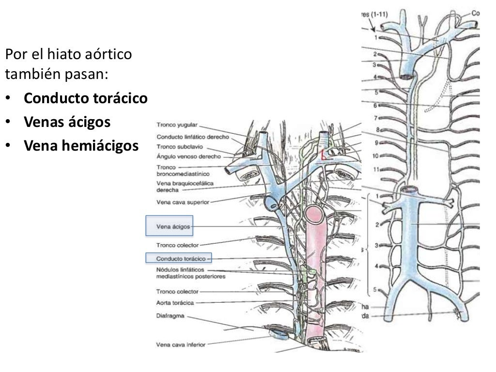 Bonito Anatomía Conducto Torácico Imagen - Imágenes de Anatomía ...