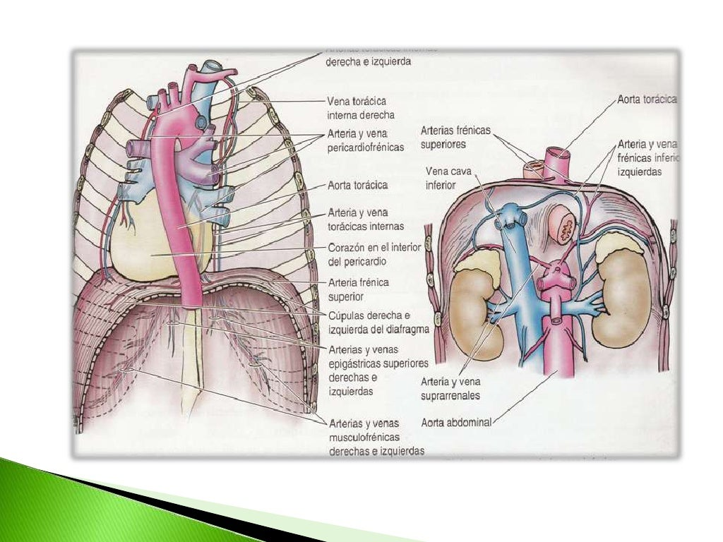 Diafragma anatomia