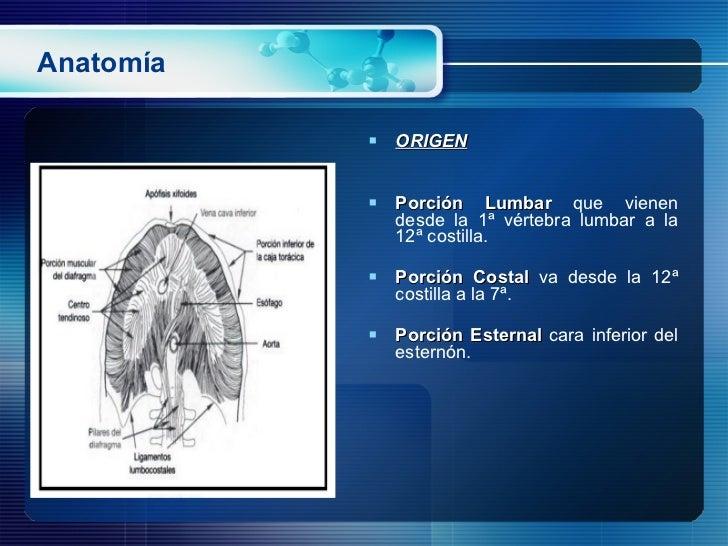 Anatomía <ul><li>ORIGEN </li></ul><ul><li>Porción Lumbar  que vienen desde la 1ª vértebra lumbar a la 12ª costilla.  </li>...