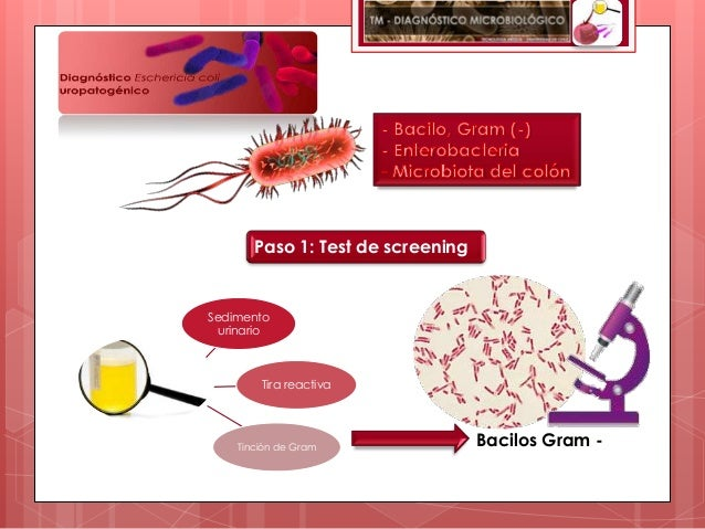 Paso 1: Test de screeningSedimento  urinario        Tira reactiva    Tinción de Gram                Bacilos Gram -