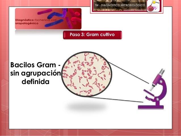 Paso 3: Gram cultivoBacilos Gram -sin agrupación    definida