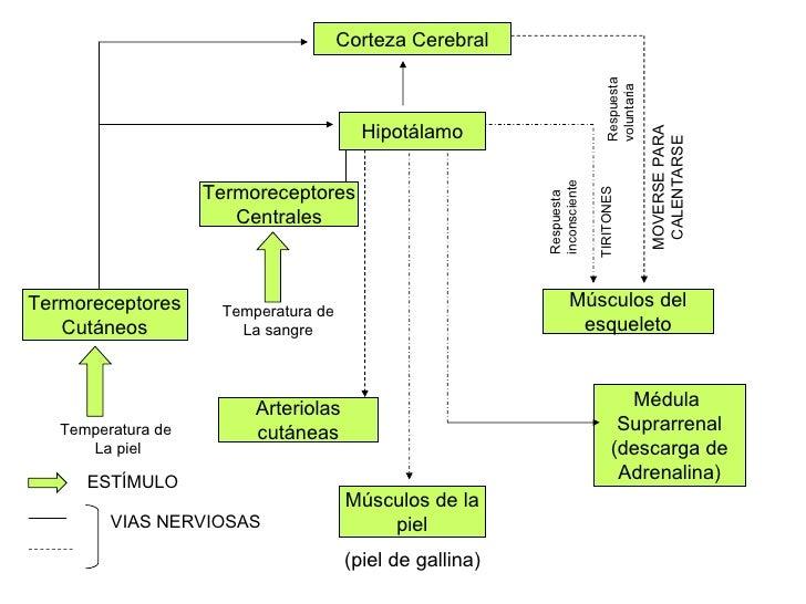 Corteza Cerebral Hipotálamo Termoreceptores Centrales Termoreceptores Cutáneos Músculos del esqueleto Arteriolas cutáneas ...
