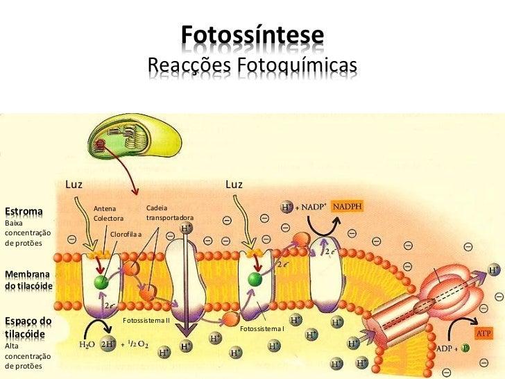 Fotossíntese                                        Reacções Fotoquímicas               Luz                               ...