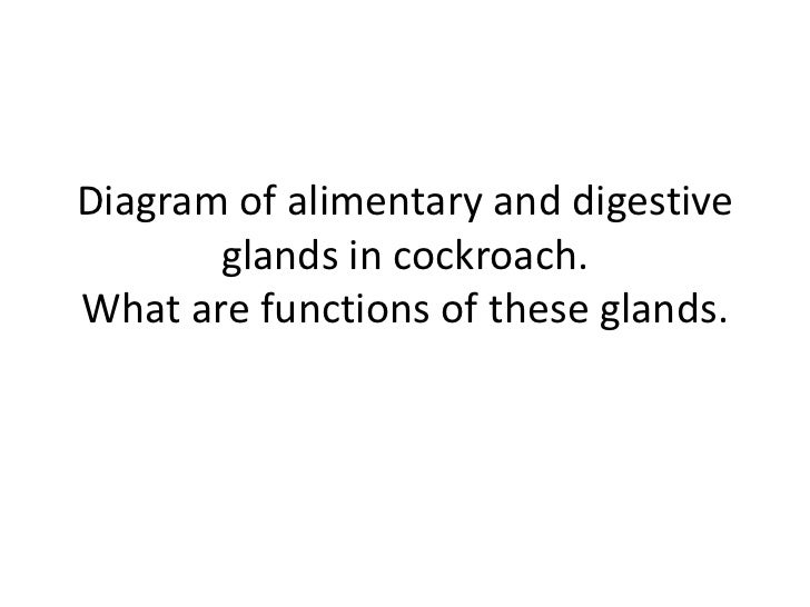 Diagram of alimentary and digestive       glands in cockroach.What are functions of these glands.
