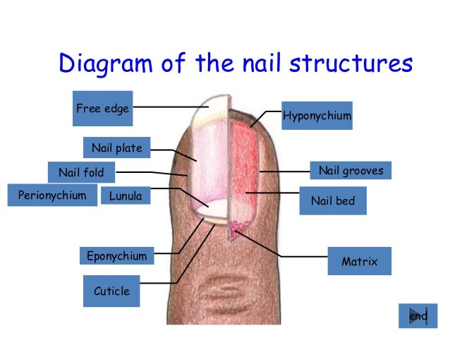 Diagram Of The Nail Structures Matrix Bed Grooves Hyponychium Free Edge Plate