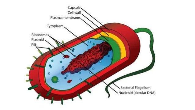Diagrams of bacteria nematode fungi virus virion prion 3 ccuart Gallery