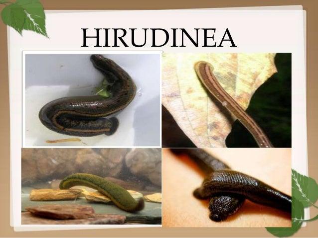 Hirudinea