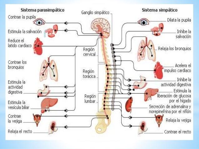 Funciones De Las Estructuras Del Sistema Nervioso
