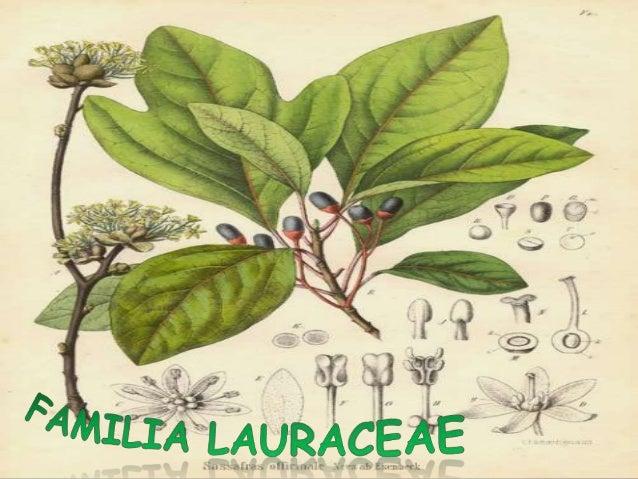 DESCIPCION BOTANICA Planta arbóreas o arbustivas de hojas caducas, simples, generalmente dispuestas de forma alterna, de c...