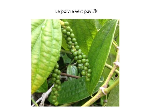 Le poivre vert pay 