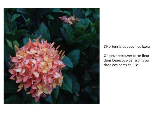 L'Hortensia du Japon ou Ixora On peut retrouver cette fleur dans beaucoup de jardins ou dans des parcs de l'île.
