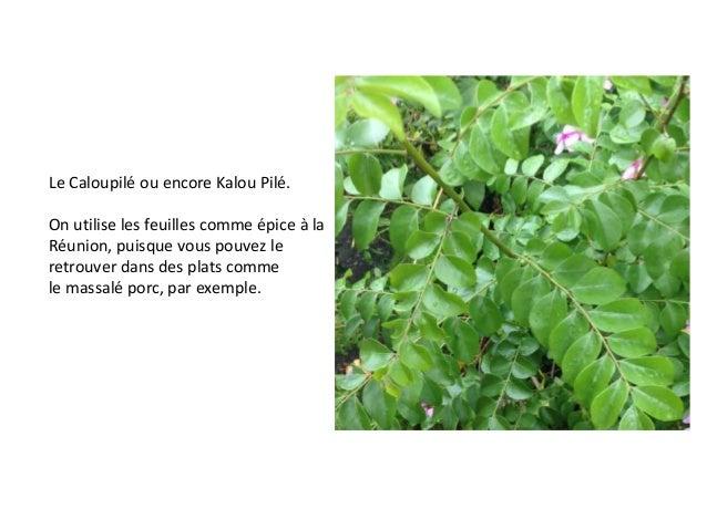 Le Caloupilé ou encore Kalou Pilé. On utilise les feuilles comme épice à la Réunion, puisque vous pouvez le retrouver dans...