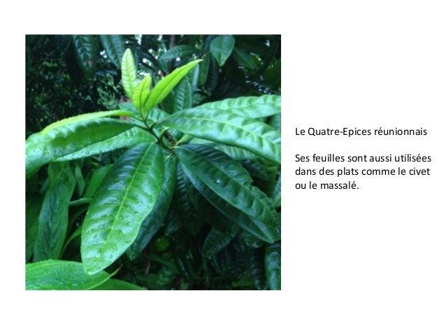 Le Quatre-Epices réunionnais Ses feuilles sont aussi utilisées dans des plats comme le civet ou le massalé.