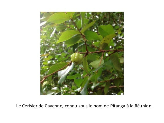 Le Cerisier de Cayenne, connu sous le nom de Pitanga à la Réunion.