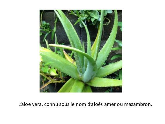 L'aloe vera, connu sous le nom d'aloés amer ou mazambron.