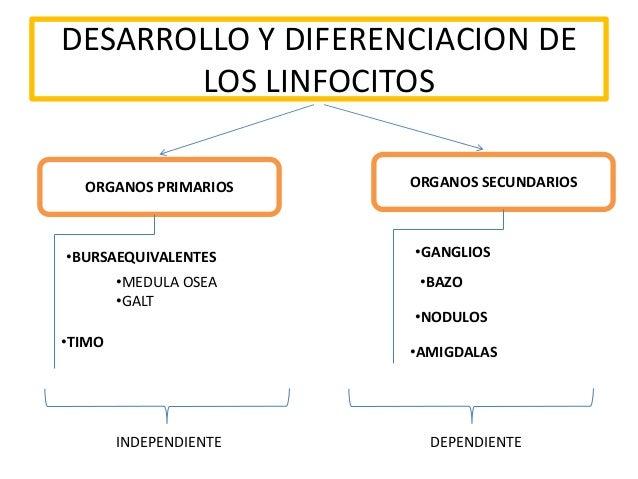 DESARROLLO Y DIFERENCIACION DE LOS LINFOCITOS ORGANOS PRIMARIOS ORGANOS SECUNDARIOS •BURSAEQUIVALENTES •MEDULA OSEA •GALT ...