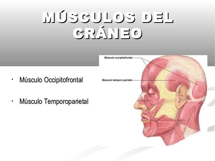 Músculos del Craneo Y Cara Slide 2