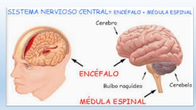 Neuroanatomia - sistema nervioso central Slide 2