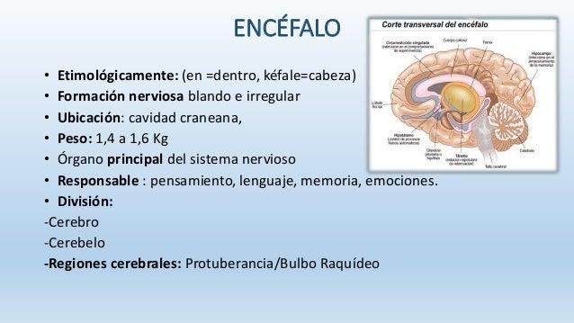 Neuroanatomia - sistema nervioso central Slide 5