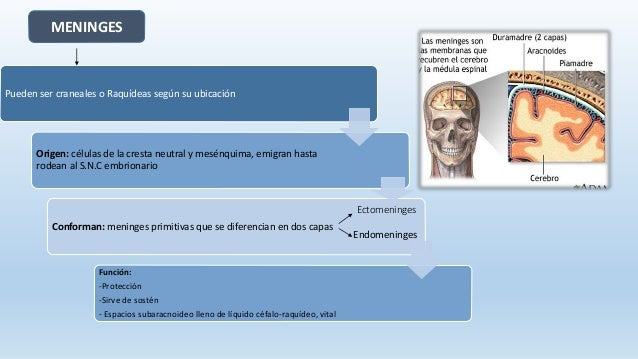 Neuroanatomia - sistema nervioso central Slide 6