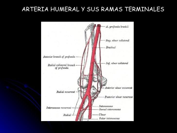 Diapositiva Arteria Braquial