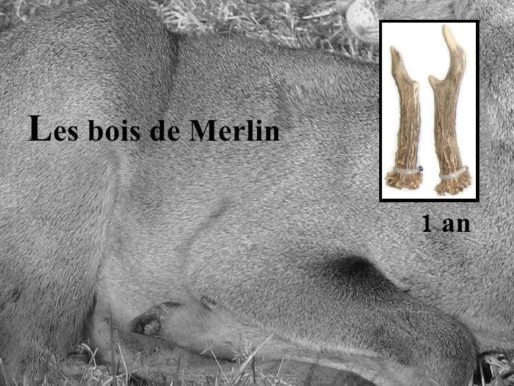 L es bois de Merlin 1 an
