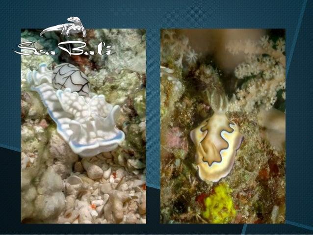 Diaporama nudibranches sea bali