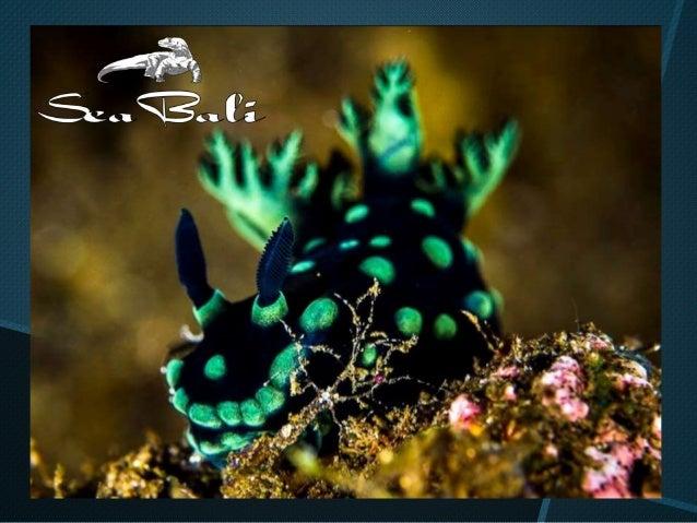 L'univers coloré des nudibranches à Bali  Slide 3