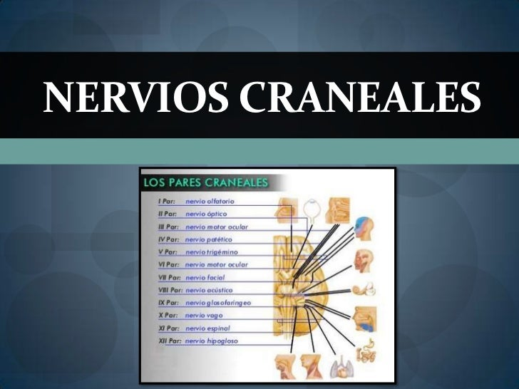 Funciones de los 12 nervios craneales for 12 paredes craneales
