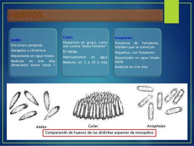 PUPA ANOPHELES: Se transforman en adulto en 3 días Trompetillas cortas AEDES: Se mueven a saltos y lentamente Se transform...
