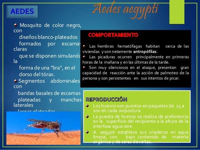 COMPORTAMIENTO Los mosquitos de Culex son más activos entre la oscuridad y el amanecer. Cuando el aire es tranquilo, las h...