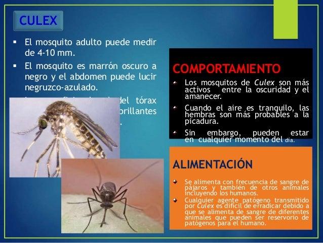 El mosquito adquiere el virus de pájaros silvestres infectados u otros vertebrados y pueden funcionar como un vector y pas...