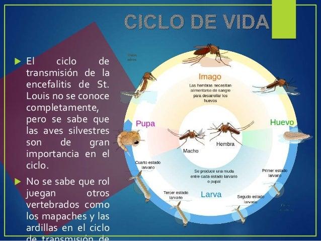  Al igual que todos los demás mosquitos, los de la especie Anopheles pasan por cuatro etapas de su ciclo de vida: huevo, ...