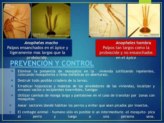 """ Al género Psorophora se lo llama como el de """"las inundaciones de agua"""", porque los mosquitos hembras ponen sus huevos en..."""