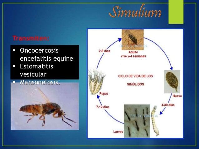 Los chinches de la cama del género Cimex No son vectores biológicos Son una subfamilia de insectos perteneciente a la FAMI...