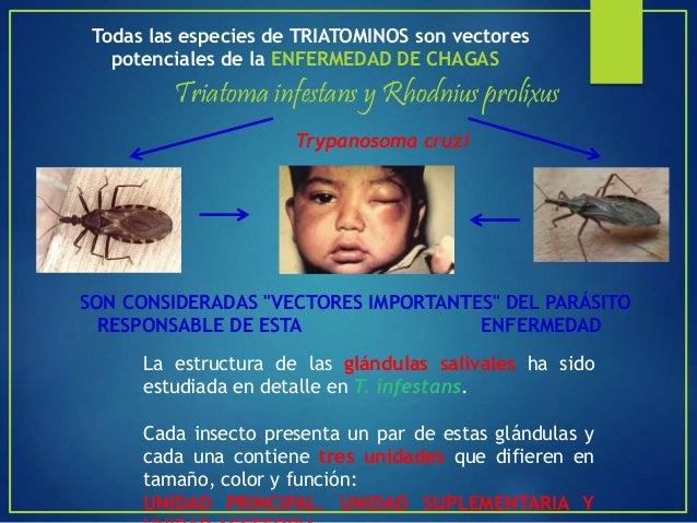 VECTOR PEDICULUS HUMANUS AGENTE BORRELIA RECURRENTES FIEBRE REINCIDENTE Enfermedad infecciosa que se manifiesta como una e...