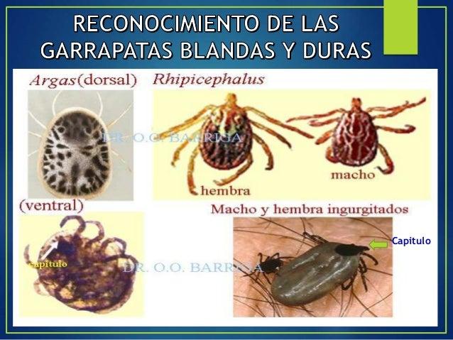 Forma alargada de 100 a 400 micras de longitud 4 pares de patas atrofiadas sin vellosidades Invade los folículos pilosos y...