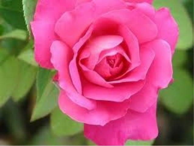 Diapositiva de rosas bonitas - Rosas rosas hermosas ...