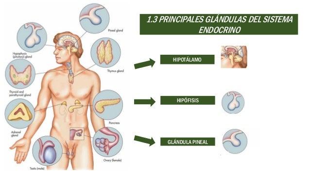 Sistema Endocrino Fisiología Del Sistema Endocrino — Vila \