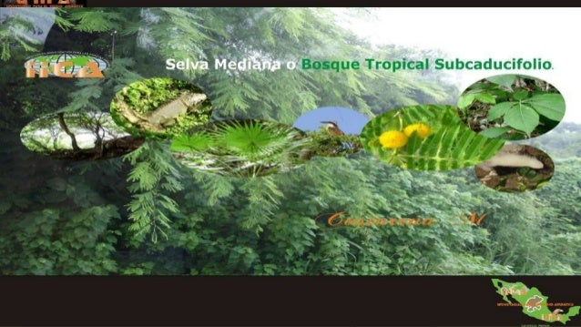 Selva mediana o bosque tropical subcaducifolio Slide 2