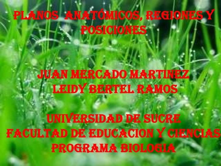 planos  anatómicos, regiones y posiciones <br />JUAN MERCADO MARTINEZ <br />LEIDY BERTEL RAMOS<br />UNIVERSIDAD DE SUCRE<b...