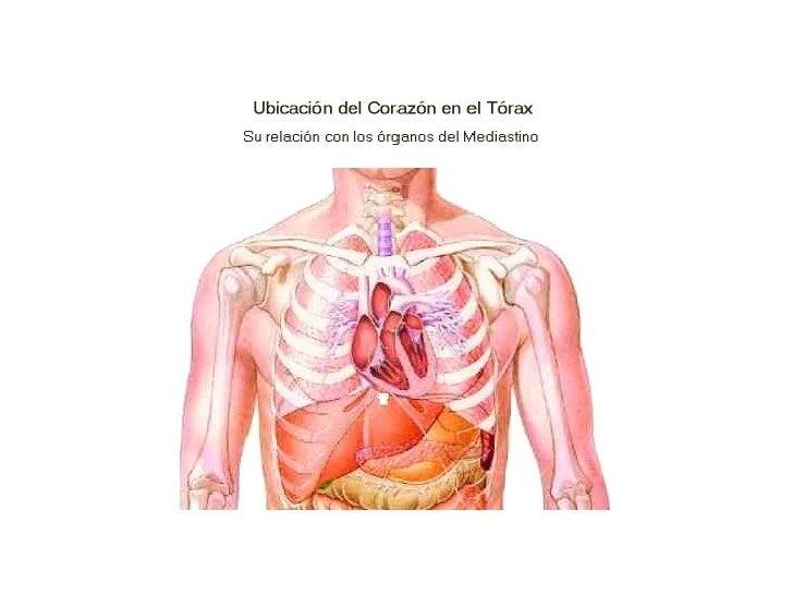 Perfecto Ubicación Del Corazón Anatomía Modelo - Anatomía de Las ...