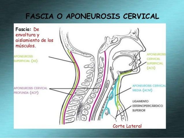 anatomia del cuello  Slide 3