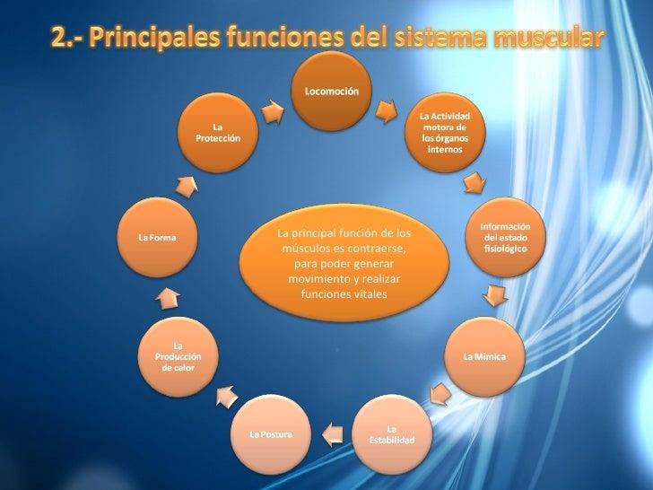 Diapositivas Del Musculo Terminadas Slide 3
