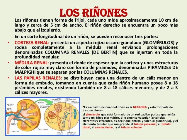 Diapositivas del Sistema Urinario