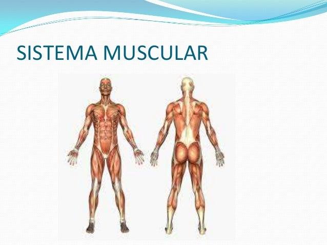 Diapositivas exposicion sistema muscular