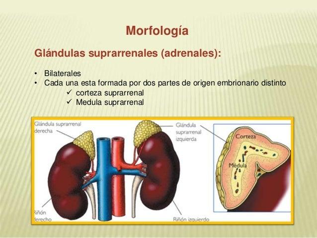 Diapositivas glandulas suprarrenales