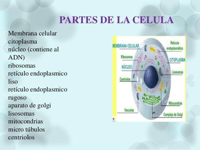  FUNCIÓN DE REPRODUCIÓN O DIVISIÓN CELULAR: Es la función porel cual el protoplasma se divide en 2 o mas porciones. Las c...