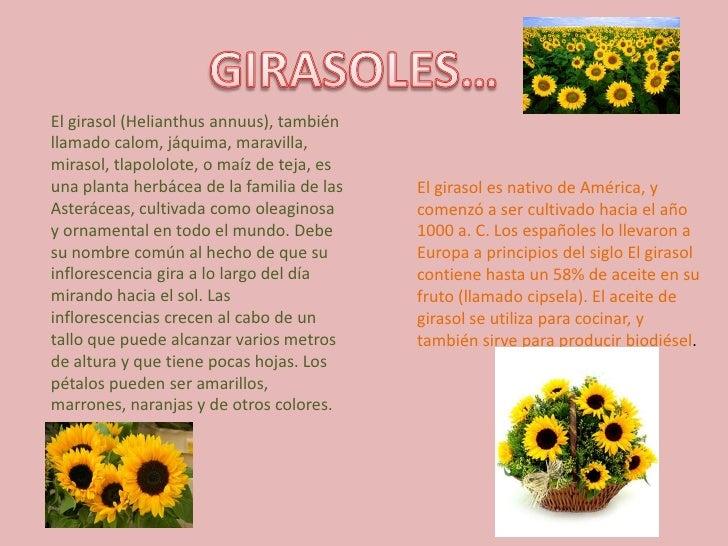 GIRASOLES…<br />El girasol (Helianthus annuus), también llamado calom, jáquima, maravilla, mirasol, tlapololote, o maíz de...