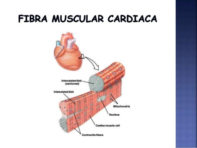 Diapositivas musculo cardiaco